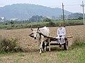 Gujjar Farmer in village Saketrri ,near chandigarh Panchkula , Haryana.jpg