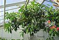 Gummibaum (Ficus elastica).jpg