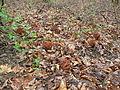 Gyromitra caroliniana 83156.jpg