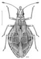 HEMI Tingidae Cyperobia carectorum.png