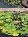 HK Kowloon Park-Nymphaeaceae-002.jpg