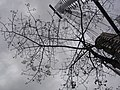 HK Mongkok 旺角 evening 麥花臣球場 Macpherson Playground tree May-2011.JPG