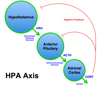 Hypothalamic–pituitary–adrenal axis - Schematic of the HPA axis (CRH, corticotropin-releasing hormone; ACTH, adrenocorticotropic hormone).