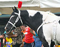 Half Arabian Pinto Stallion, Black Tie Affair (5992585452).jpg