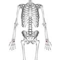 Hamate bone 01 palmar view.png