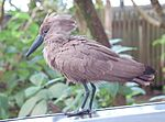 Hammerkop Scopus umbretta Fluff Three 2700px.jpg
