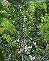 Haptanthus-tree.jpg