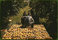 Hauling crates of peaches from the orchard to the shipping shed. Delta County, Colorado, September 1940.jpg