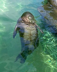Hawaiian monk seal01.JPG