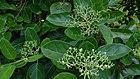 Headache Tree (Premna serratifolia).jpg