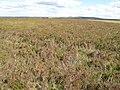 Heatheryburn Moor (2) - geograph.org.uk - 520503.jpg