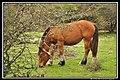 Heavy horse, Venta de Urbasa, Navarre, Espagne.jpg