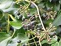 Hedera hibernica berries 1.jpg