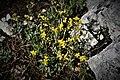 Helianthemum Nummularium. Crêt des Roches. (4).jpg