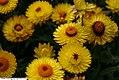 Helichrysum Dreamtime Jumbo Yellow 1zz.jpg