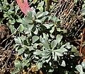 Helichrysum argyrophyllum 01.jpg