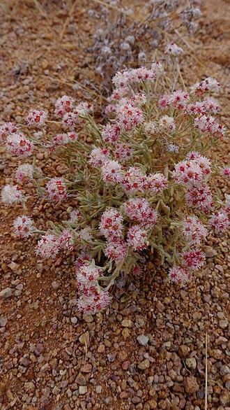 Helichrysum - Helichrysum candolleanum in Namibia