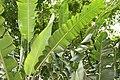 Heliconia rostrata 36zz.jpg