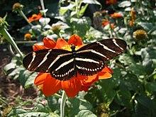 Heliconius charithonius.jpg