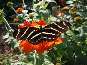 Heliconius charithonia - Zebra longwing adult