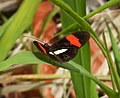 Heliconius erato petiverana (Crimson-patched Longwing) - Flickr - gailhampshire.jpg