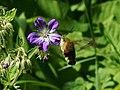 Hemaris fuciformis - Broad-bordered bee hawk-moth - Шмелевидка жимолостная (42569934332).jpg