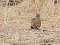 Hen Harrier (Circus cyaneus) (45300150475).jpg