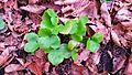 Hepatica nobilis11.jpg