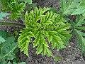Heracleum mantegazzianum 2016-04-22 8224.jpg