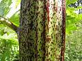 Heracleum mantegazzianum R.H. 01.jpg