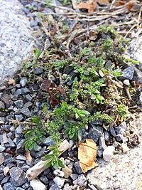 Herniaria hirsuta sl1.jpg