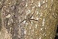 Hersiliidae sp 7795.jpg