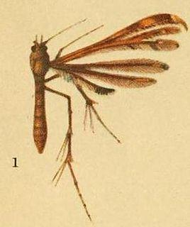 <i>Hexadactilia trilobata</i> species of insect