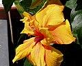 Hibiscus-Gelb.JPG