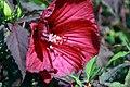 Hibiscus moscheutos Fireball 1zz.jpg