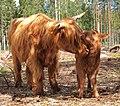 Highland cattle licking.jpg