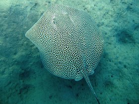 A stingray with its entire back covered by crowded dark spots, swimming over a sandy bottom