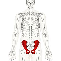Hip bone anterior high-res.jpg