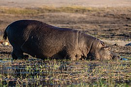 Hipopótamo (Hippopotamus amphibius), parque nacional de Chobe, Botsuana, 2018-07-28, DD 83.jpg