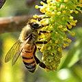 Honey Bee on Willow Catkin (5419305106).jpg