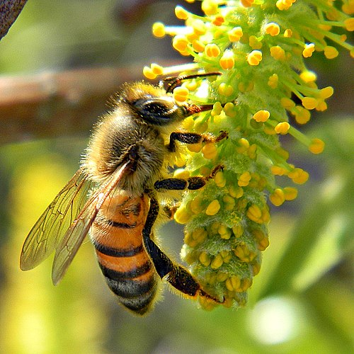 Honey Bee on Willow Catkin (5419305106).jpg