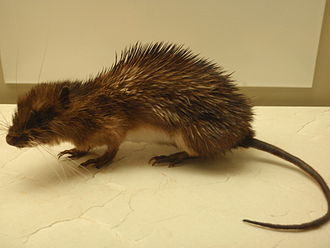 Echimyidae - The armored rat, Hoplomys gymnurus