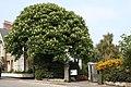 Horse chestnut tree at Morrab Gardens - geograph.org.uk - 2387172.jpg