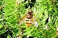 Hoverfly (FG) (8204733270).jpg