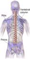 Human vertebral column.png