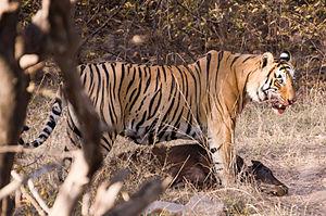 Apex predator - Image: Hunting Tiger Ranthambore