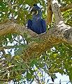 Hyacinth Macaw (Anodorhynchus hyacinthinus) (29046618830).jpg