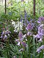 Hyacinthoides ×massartiana, 3 couleurs.jpg