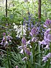 Hybrid Bluebell - Photo (c) B59210, some rights reserved (CC BY-SA)