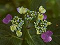 Hydrangea macrophylla Eisvogel E.jpg